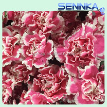 Cheap Whole Sale Fresh Cut smiling face Carnation For Mother's Day