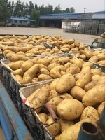 2016 new good quality holland potato promotion
