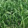 Best Quality Hybrid Sorghum Sudan Grass Seeds