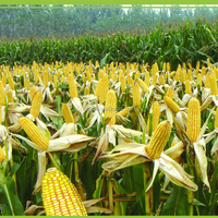 Maize corn Variety and Grain Type yellow maize for poultry feed