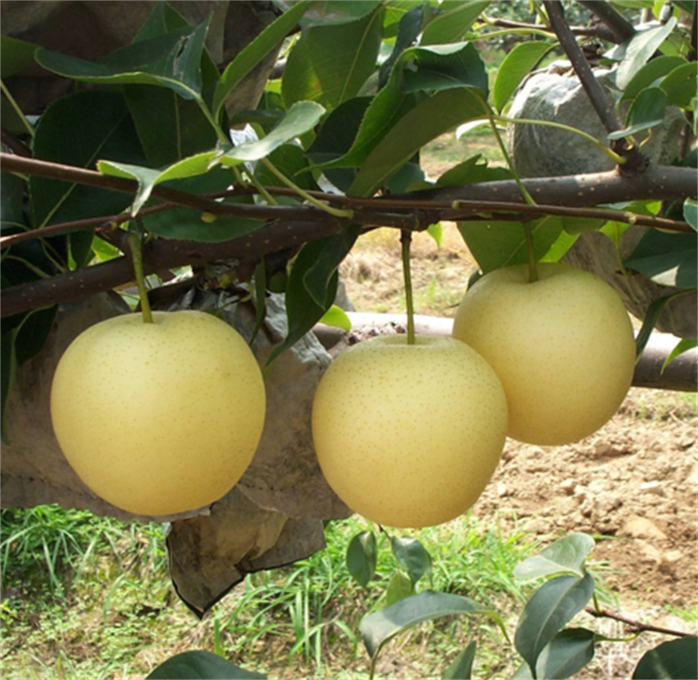 SPECIAL pomotion season packham pears