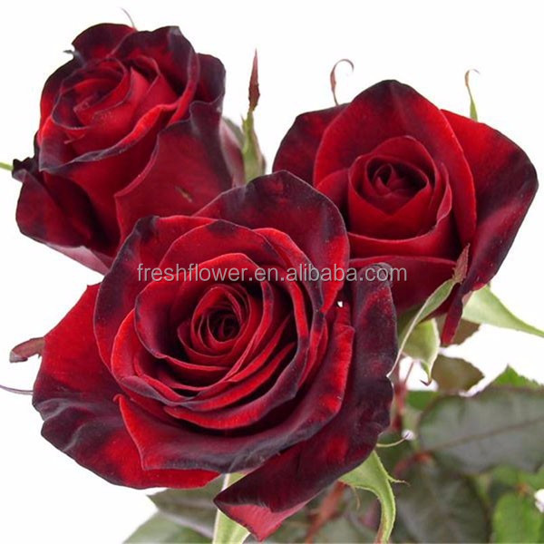 good quality fresh black rose bushes for sale with a low price