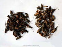 Dried Crickets for sale
