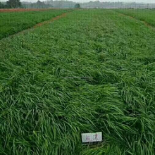 2017 perennial ryegrass seeds forage seeds grass seeds Barren soil nutrients but plenty of rye resistant