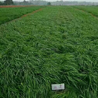 2018 perennial ryegrass seeds forage seeds grass seeds Barren soil nutrients but plenty of rye resistant