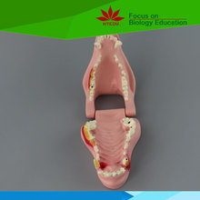 Direct factory medical science plastic teeth model of dog