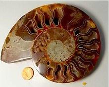 top quality fossil ammonite