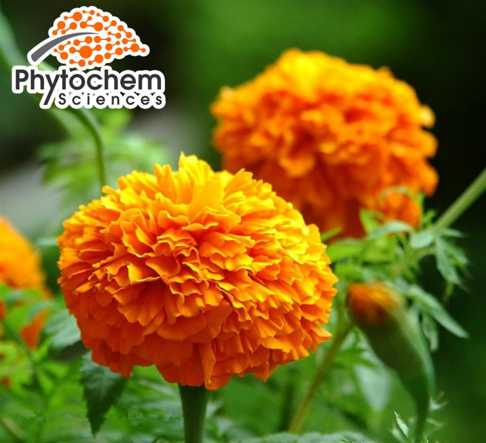 Pure marigold extract 10% Lutein (Xanthophyll palmitate)
