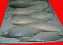 Frozen Fish- Tilapia Fish and Milk Fish