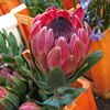 Export fresh cut flowers roses Protea Susara fresh cut flower