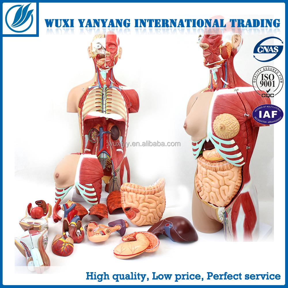 Sagital sección anatomía del torso humano modelo-Ciencia Médica ...