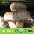 The most popular latest production stable quality high yield shiitake mushroom spawn
