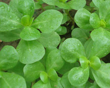 Purslane Made in Turkey