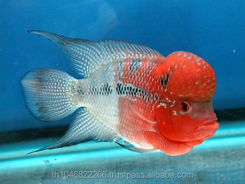 Flowerhorn fish in thailand breeding farm and export buy for Flower horn fish price