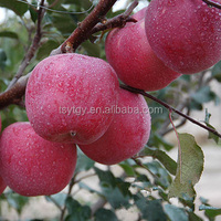 Fresh Fruit Chinese fiji apple with best price