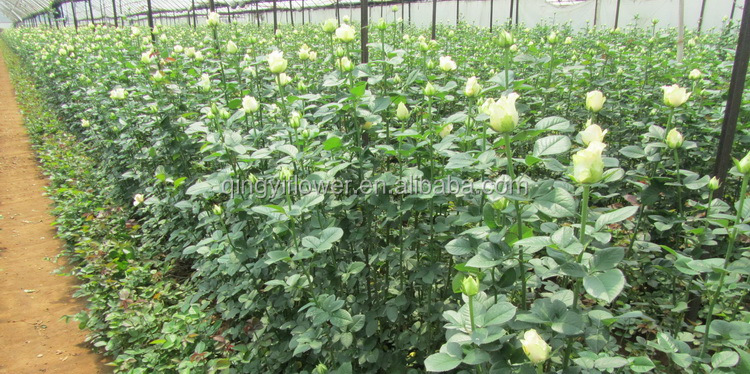 import wedding decoration Rose Fresh Cut Flowers