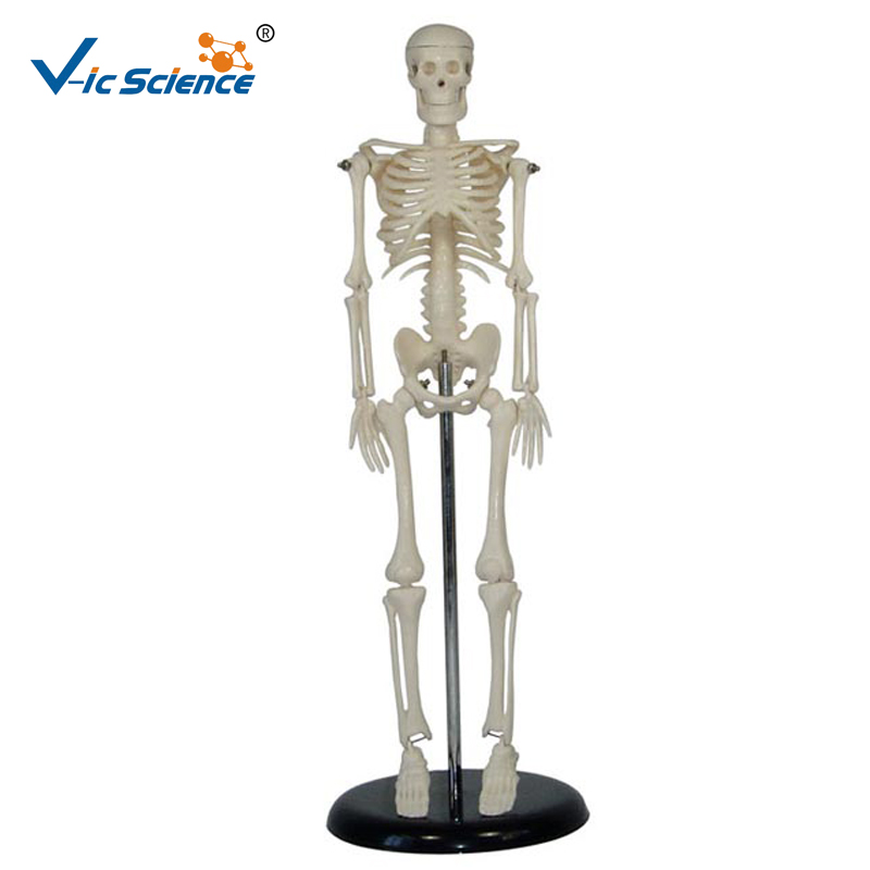 Half Size 85cm Human Skeleton <strong>Model</strong>