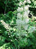 All natural Black cohosh extract, with Triterpene Glycosides 2.5% and 8%