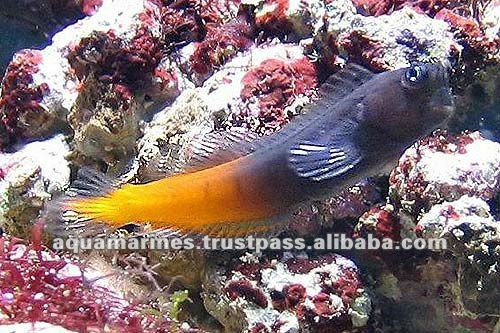 Aquarium Fish Red Tailed Blenny Live Fish