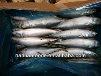 300-500G frozen makerel fish whole round