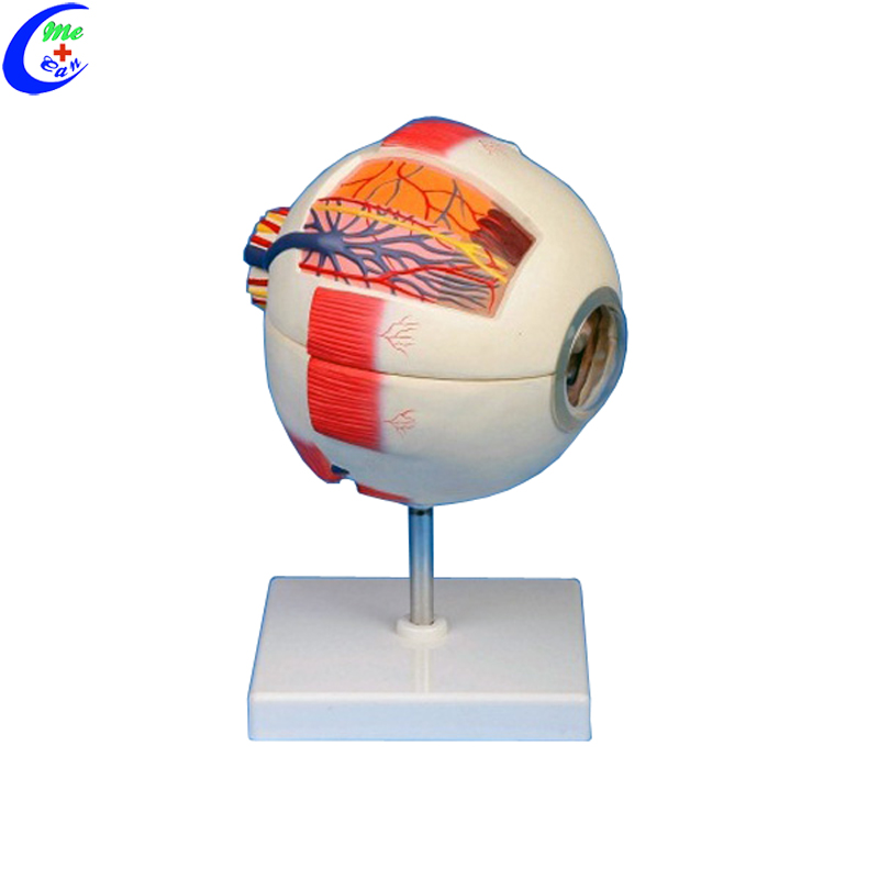 Medical Anatomical <strong>Models</strong> 6 Parts Giant Eye <strong>Model</strong>