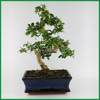 Bonzai Trees for Sale Carmona bonsai (Fukien Tea) with 25cm Pot