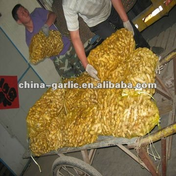 Specification Fresh Ginger / Dried Ginger 2012 New Crop