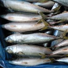 all types of price sea frozen mackerel seafood with bqf freezing process mackerel