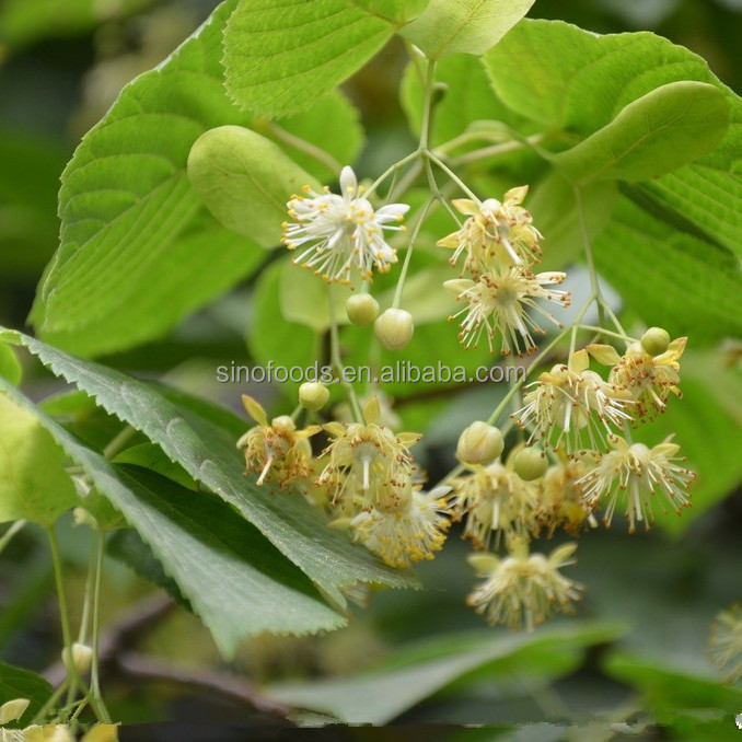 linden extract powder tilia flowers extract
