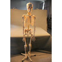artificial human skeleton / Biological / teaching equipments