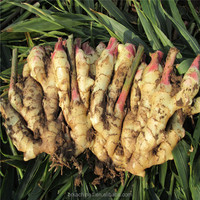 Import varieties of chinese mature ginger