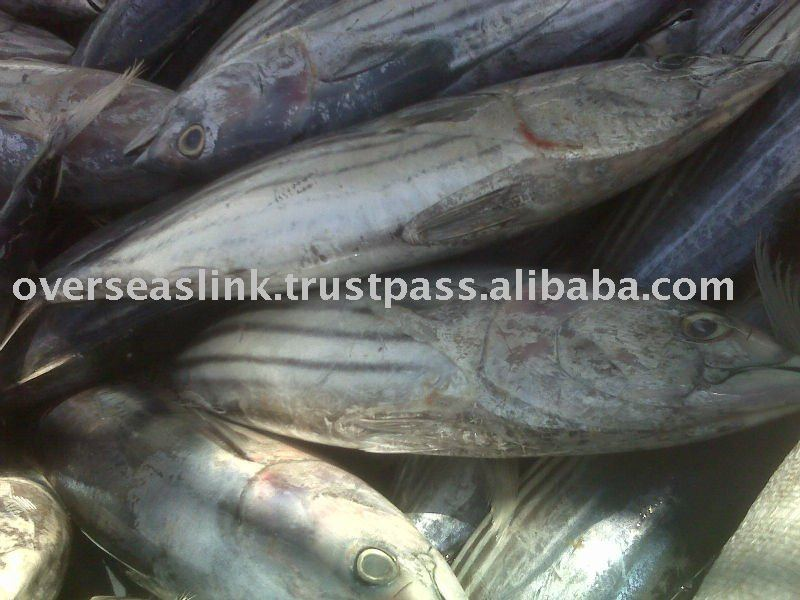 Morocco Overseas Piece 7 Days Poly Box Packaging Quality A Fresh Tuna