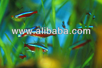 Live tropical fish exotic buy live tropical fish product for Buy tropical fish online