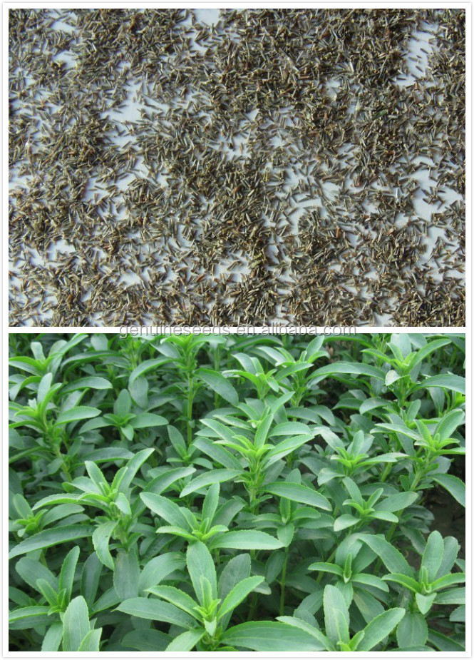 2016 fresh stevia seeds for planting with high germination rate