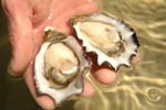 Australian Pacific Oysters Live