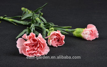 Supply carnations fresh cut flower with A grade