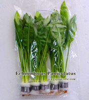 Echinodorus Paniculatus Aquatic Plants Thailand For Sale / Aquatic Plants Breeding Farm