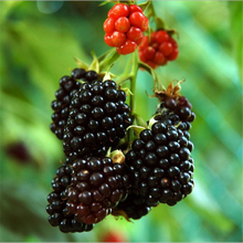 Hei Mei TOP quality wholesale healthy product EXTRACT black chokeberry p.e.