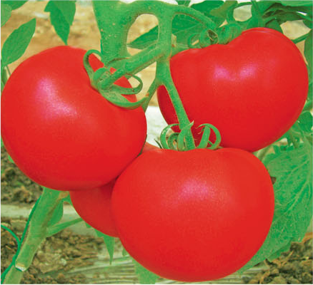 Big Red Fruit Tomato Seed For Sale FST 071