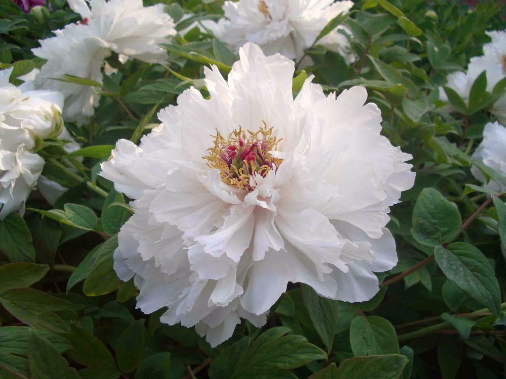 best gift for family chinese medicine white peony root extract