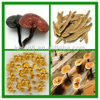 Hottest Organic Lingzhi Mushroom Cracked Spore Oil extracted from Ganoderma lucidum, ganoderma lucidum extract