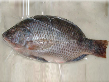 Frozen Fresh Tilapia Fish Suppliers