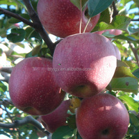 Fresh Qinguan Apple Fresh Apple Fruit From Gansu