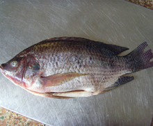 China Frozen black tilapia <strong>fish</strong> whole round 90%NW on sale