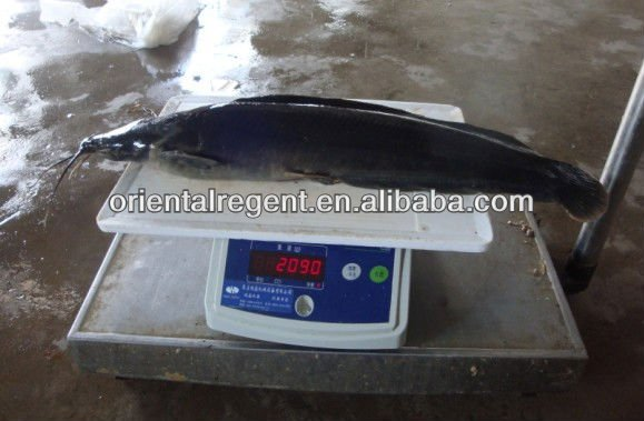 Frozen Catfish Whole Round china farm