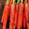 Hu Luo Bo Healthy Vegetable Seeds Carrot Seeds For Growing