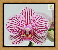 "Petite Pink Striped Phalaenopsis Orchid Plant in 2.5"" or 9 cm Pot Taiwan Orchid Nursery Small Phalaenopsis"