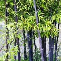 100% pure bamboo seeds zi zhu zhong zi black bamboo seeds for sale