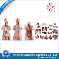 model 204 factory produce medical supply human body parts for schools