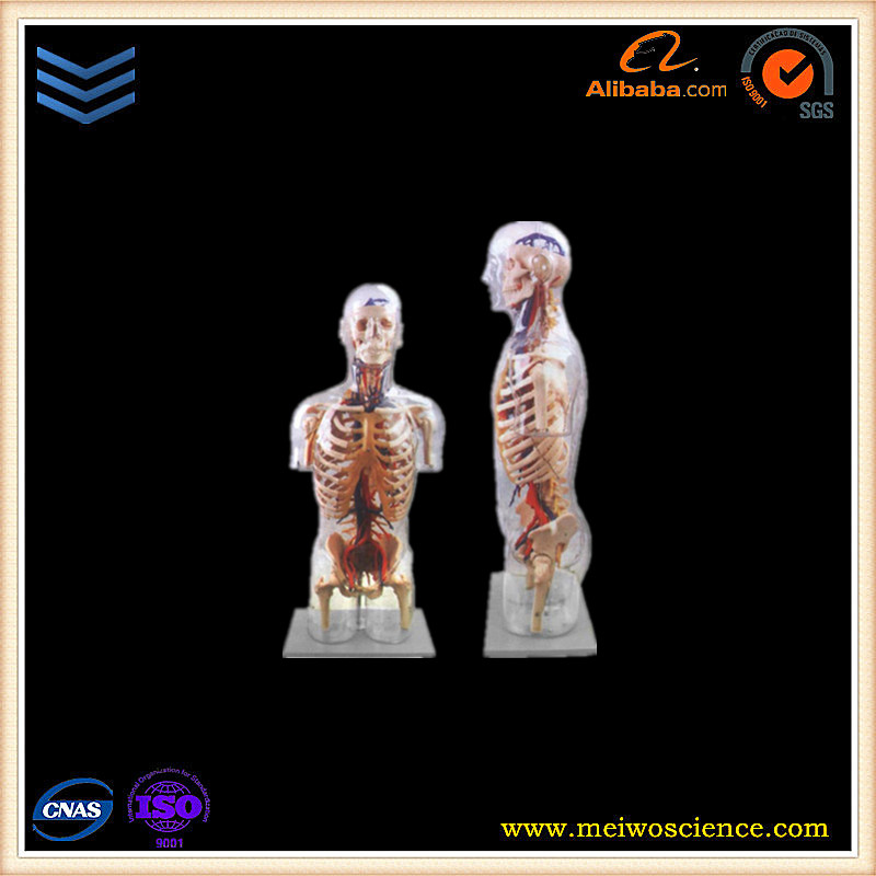 Transparent torso medical anatomical model with main neural and vascular structure